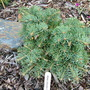 Abies_concolor_olson_broom_