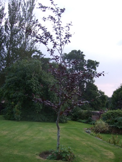 Copper Beech tree. (Fagus sylvatica f. purpurea)