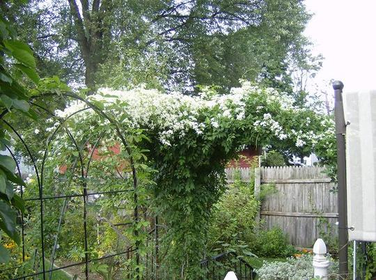White Fall Clematis