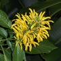 Justicia aurea - Yellow Justicia (Justicia aurea)