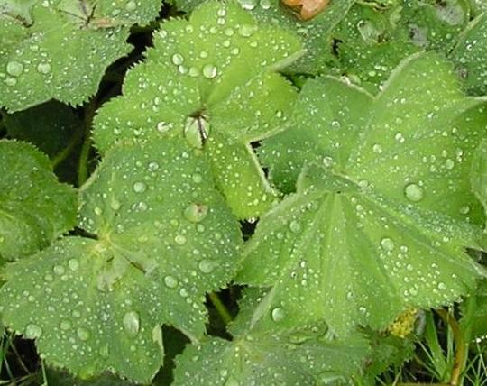 A garden flower photo (Alchemilla mollis)