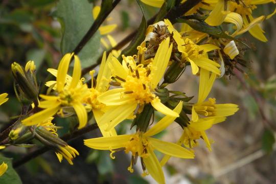 """Ligularia Stenocephala """"little rocket"""" (Ligularia stenocephala)"""