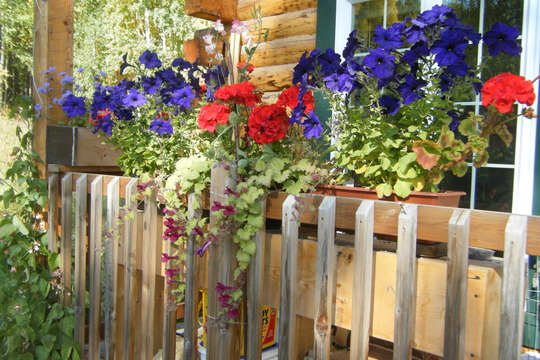 Last shot of the porch (Asarina erubescens (Asarina Bridal Bouquet))