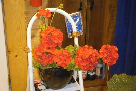 """Pelargonium """"rocky mountain red"""" (pelargonium hortorum)"""