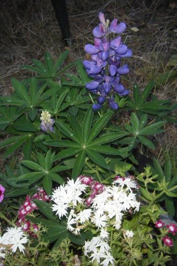 Lupin and Phlox (Lupinus polyphyllus (Bigleaf Lupine))