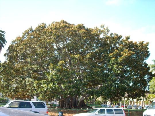 Ficus macrophylla - Moreton Bay Fig (Ficus macrophylla)