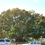 Ficus macrophylla - Moreton Bay Fig (Ficus macrophylla)