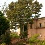 "Ficus macrophylla ""columnaris"" (Ficus macrophylla ""columnaris"")"