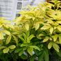 A garden flower photo (choisya)