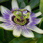 Passion_flower1_2