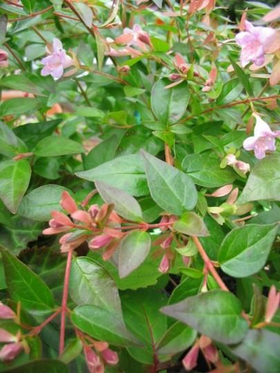 Abelia Edward Goucher (Abelia biflora)