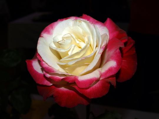 Rose- red white
