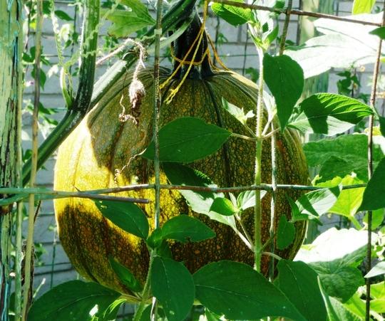 The Green Pumpkin Turneth