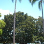 Ficus macrophylla - Moreton Bay Fig - West View  (Ficus macrophylla)