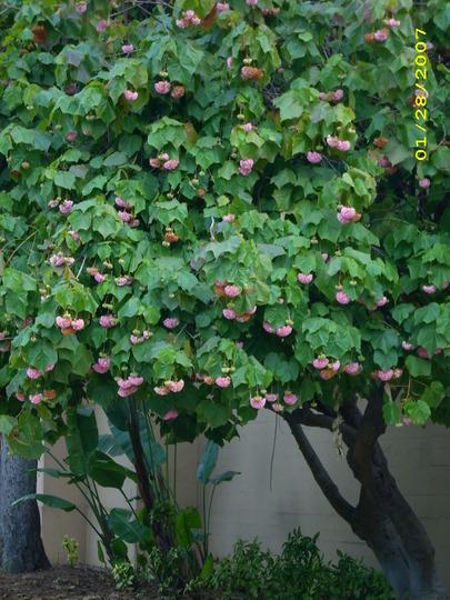 Dombeya cayeuxii - Pink Ball Dombeya (Dombeya cayeuxii)