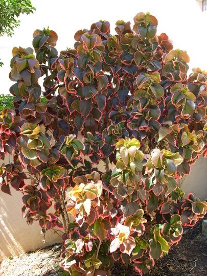 Acalypha wilkesiana 'Ceylon' (Acalypha wilkesiana 'Ceylon')