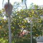 Thevetia thevetioides - Giant Thevetia (Thevetia thevetioides)