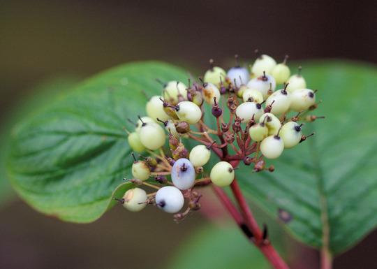my dogwood in berry (Cornus alba (Red-barked dogwood))