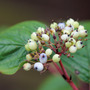 my dogwood in berry (Cornus alba (Red-barked dogwood))