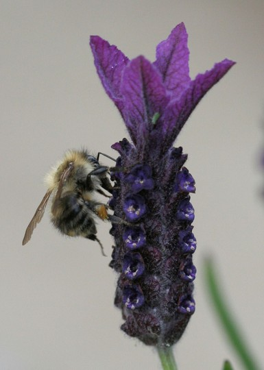 Pollen collecting (Lavandula stoechas (French lavender))