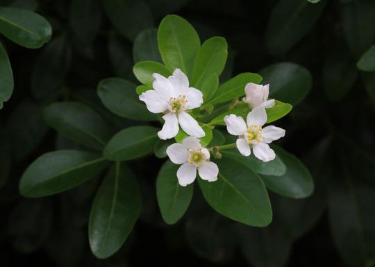 Choisya (Choisya ternata (Mexican orange blossom))