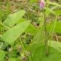 Phaseolus vulgaris (Common garden bean)