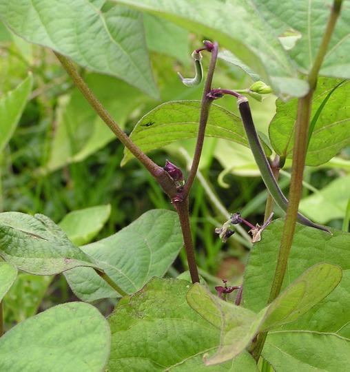 Royalty Purple Pod Bean (Phaseolus vulgaris (Common garden bean))