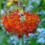 Candelabra Primula (Primula pulverulenta)