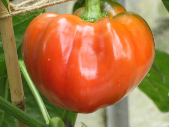 Red Pepper (Capsicum)