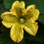 Butternut Squash Flower 