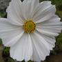Cosmo_white