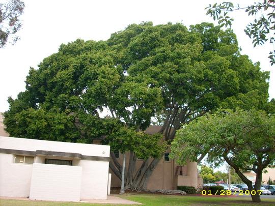 Ficus microcarpa (F. retusa, nitida)  - Indian Laurel (Ficus microcarpa (F. retusa, nitida))