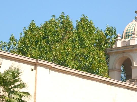 Ficus elastica 'decora' - Indian Rubber Tree (Ficus elastica 'decora')