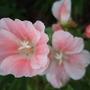 Pale_pink_godetias