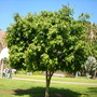Ficus maclellandii 'Alii ' (Ficus maclellandii 'Alii')
