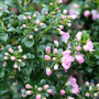Apple Blossom (Escallonia)