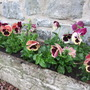 Trough_full_of_pansies