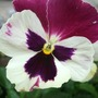 New Pansy. (Viola x wittrockiana)