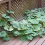 Squashy Sam takes over the deck (Cucurbita maxima (Atlantic Giant))