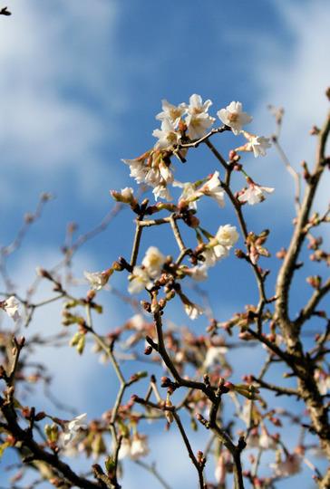 Kojo-no-mai (Prunus incisa)