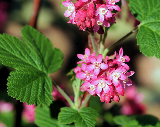 Pulborough scarlet (Ribes sanguineum (Flowering currant))