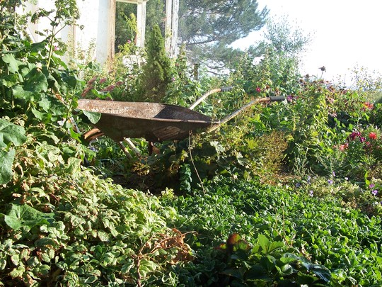 wheelbarrow with green (Arabis alpina (Alpine Rock-cress))