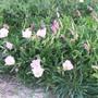 Primrose (Oenothera rosea (Pink Evening Primrose))