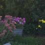 sedum petunia marigold (Sedum ellacombeanum (Stonecrop))