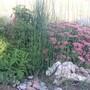 sedum snakegrass tansy (Sedum ellacombeanum (Stonecrop))