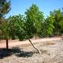 Kigelia africana - Sausage Tree (Kigelia africana (Sausage Tree))