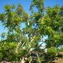 Kigelia africana - Sausage Tree (Kigelia africana)