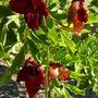 Kigelia africana - Sausage Tree Flowers (Kigelia africana)