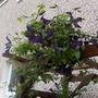 late flowering clematis