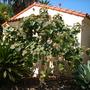Ficus petiolaris - Rock Fig (Ficus petiolaris)